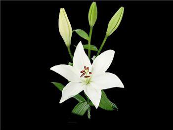 Bright Diamond Liliaceae