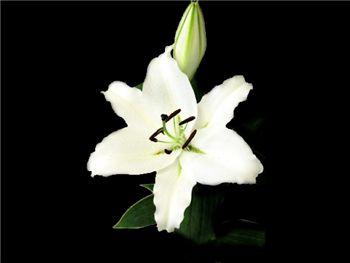Canada Liliaceae