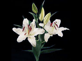 Carillon Liliaceae