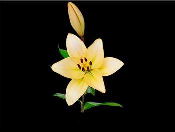 Champagne Diamond Liliaceae