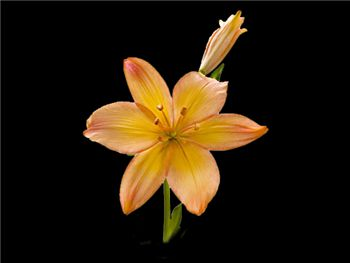 Coral Sunrise Liliaceae