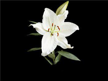Crystal Blanca Liliaceae
