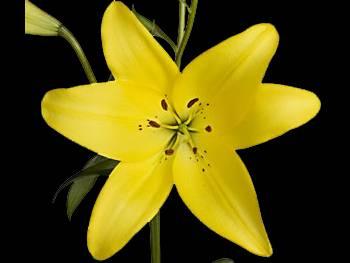 Dazzle Liliaceae