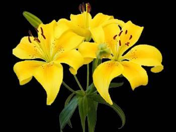 Dreamland Liliaceae