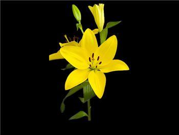El Divo Liliaceae