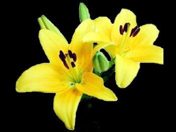 Eleganze Liliaceae