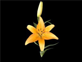 Freedom Liliaceae
