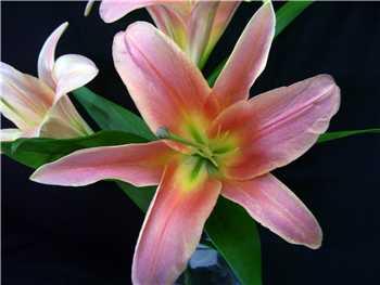 Gluhween Liliaceae