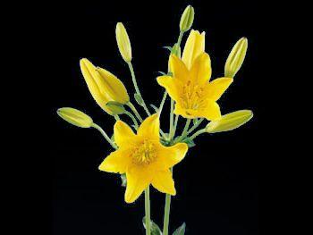 Golden Flame Liliaceae