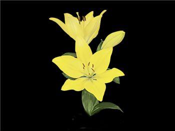 Golden Tycoon Liliaceae