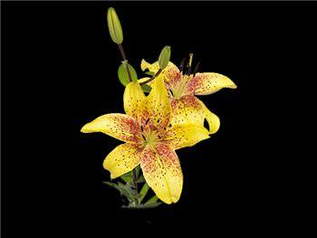 Graffity Liliaceae