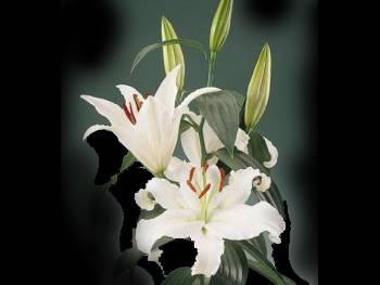 Helvetia Liliaceae