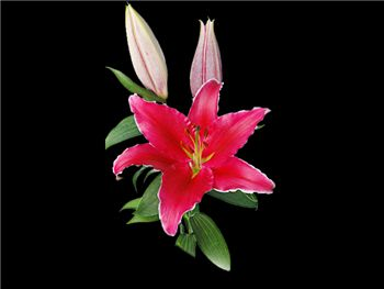 Indiana Liliaceae