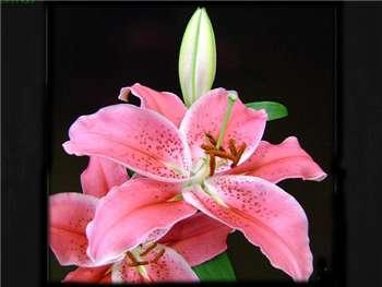 Justina Liliaceae
