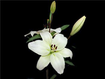Litouwen Liliaceae