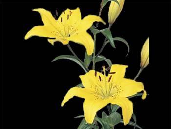 London Liliaceae