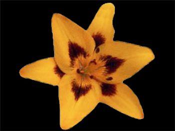 Loretto Liliaceae