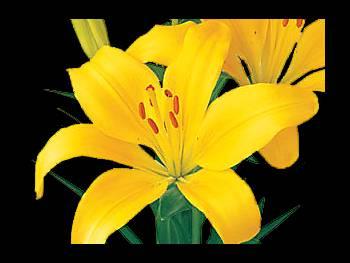 Madras Liliaceae