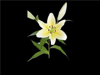 Manissa Liliaceae