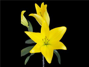 Monte Falcone Liliaceae