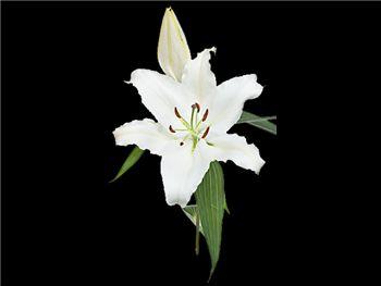 Nova Zimbla Liliaceae
