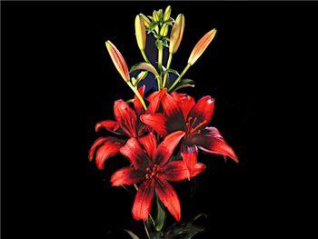 Olina Liliaceae