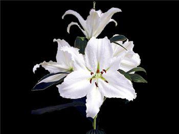 Opus One Liliaceae