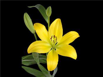 Pavia Liliaceae