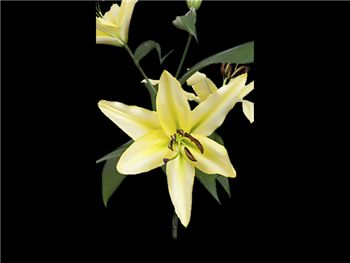 Pontiac Liliaceae