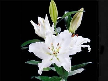 Rialto Liliaceae