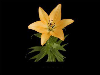 Royal Trinity Liliaceae