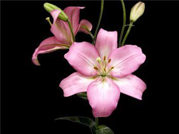 Samur Liliaceae