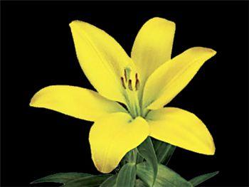 Serrada Liliaceae