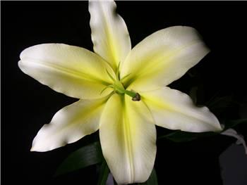 Serrano Liliaceae