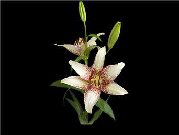Starburst Liliaceae