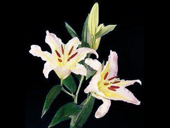 Starclass Liliaceae