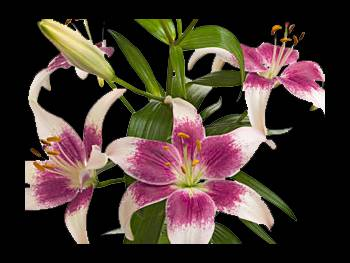 Strawberry Liliaceae