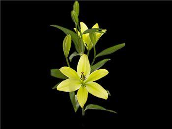 Trebiano Liliaceae