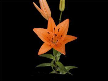 Tresor Liliaceae