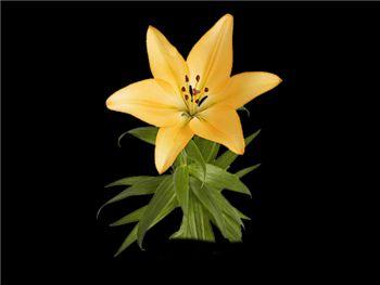 Trinity Liliaceae