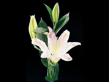Unspoiled Liliaceae