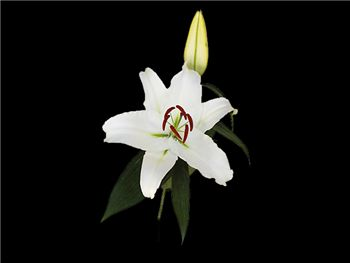 White Cup Liliaceae