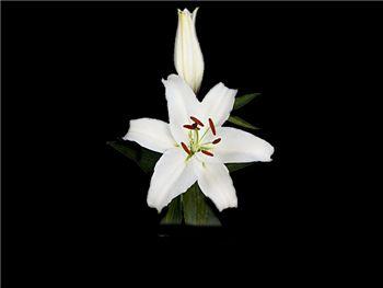 White Gazer Liliaceae