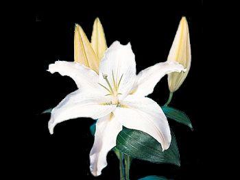 White Stargazer Liliaceae