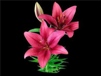 Wonder (Sea) Liliaceae