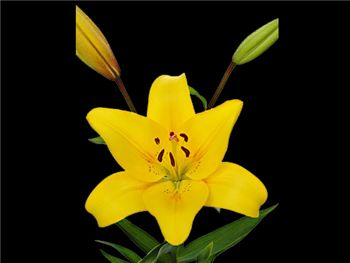 Yellow Diamond Liliaceae