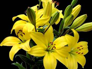 Yellow Liliaceae