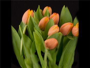 Adrem Liliaceae