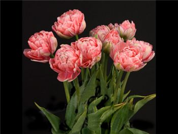 Double Pink Liliaceae