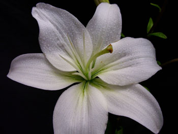 Navona Lilly-Asiatic